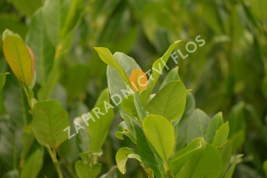 Bobkovišeň lékařská 'Van Nes' - Prunus laurocerasus 'Van Nes'