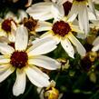 Krásnoočko přeslenité 'Fool's Gold' - Coreopsis verticillata 'Fool's Gold'
