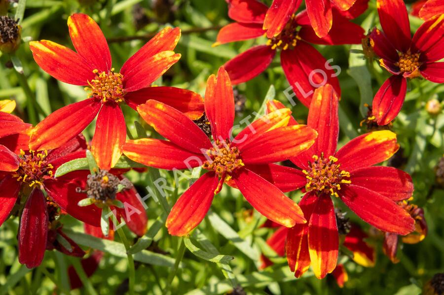 Krásnoočko přeslenité 'Ladybird' - Coreopsis verticillata 'Ladybird'