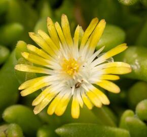 Kosmatec Cooperův 'Yellow' - Delosperma cooperi 'Yellow'