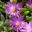 Kosmatec aberdeense 'Hot Pink' - Delosperma aberdeense 'Hot Pink'