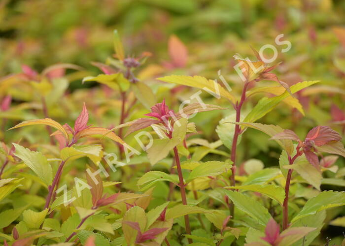 Tavolník japonský 'Little Flame' - Spiraea japonica 'Little Flame'