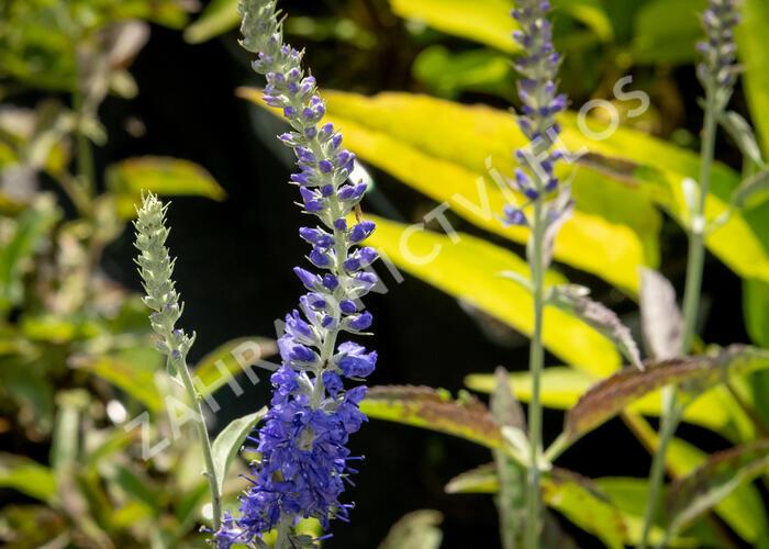 Rozrazil klasnatý 'Spitzentraum' - Veronica spicata 'Spitzentraum'