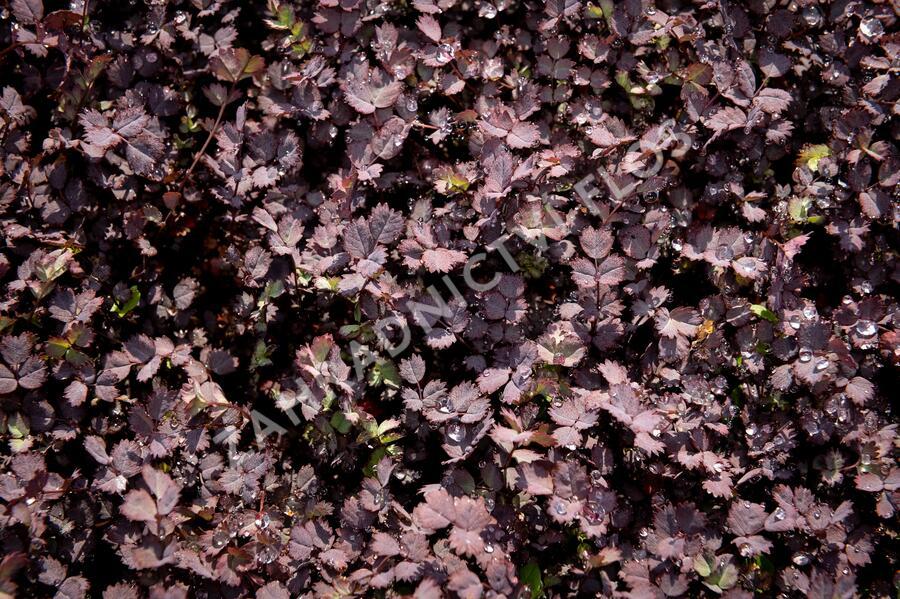 Plazilka 'Purpurea' - Acaena inermis 'Purpurea'