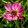 Krásnoočko přeslenité ' Ruby Red' - Coreopsis verticillata' Ruby Red'