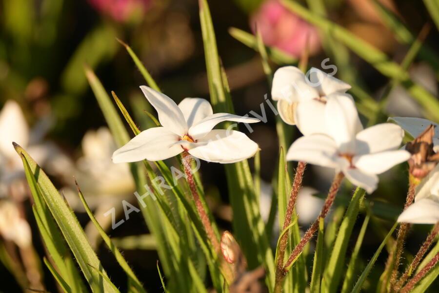 Rhodoxis 'Fairy Snow' - Rhodoxis 'Fairy Snow'