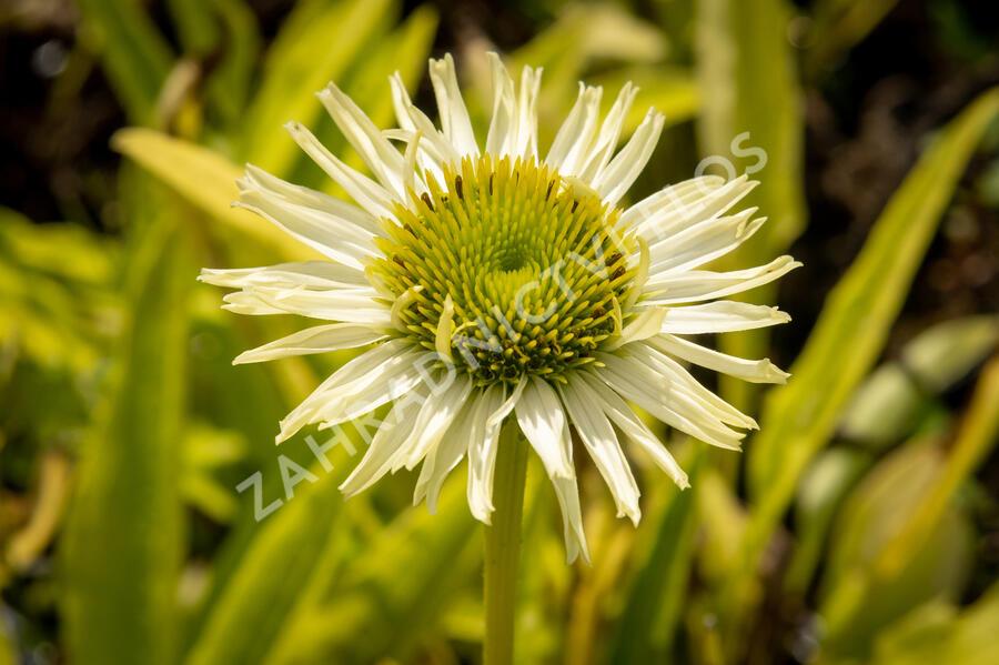 Třapatka 'Verdana' - Echinacea purpurea 'Verdana'