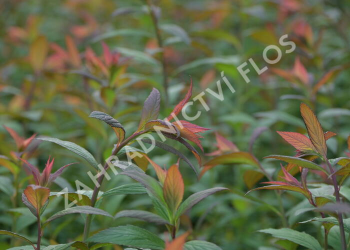Tavolník japonský 'Magnum Rose' - Spiraea japonica 'Magnum Rose'