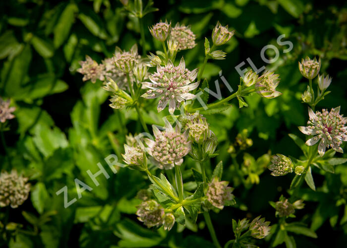 Jarmanka větší 'Florance' - Astrantia major 'Florance'
