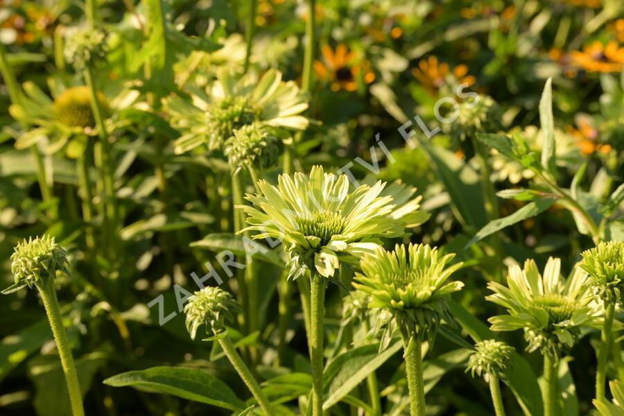 Třapatka nachová 'Green Jewel' - Echinacea purpurea 'Green Jewel'