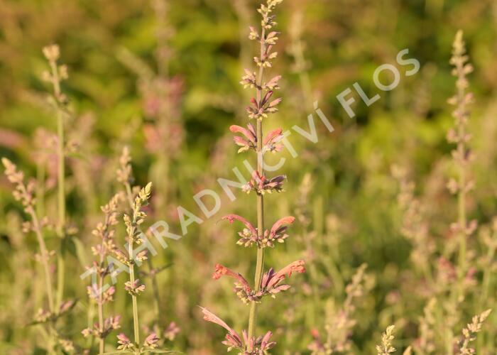 Agastache 'Fleur' - Agastache hybrida 'Fleur'