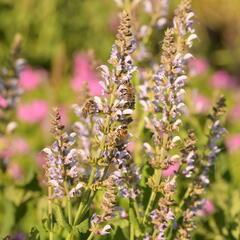 Šalvěj hajní 'Crystal Blue' - Salvia nemorosa 'Crystal Blue'