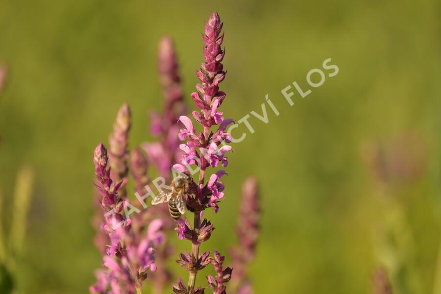Šalvěj hajní 'Pink Beauty' - Salvia nemorosa 'Pink Beauty'