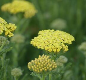 Řebříček obecný 'Desert Eve Light Yellow' - Achillea millefolium 'Desert Eve Light Yellow'