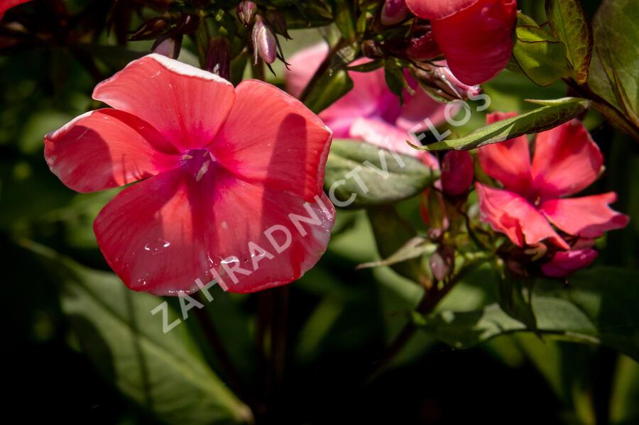 Plamenka latnatá 'Spitfire' - Phlox paniculata 'Spitfire'