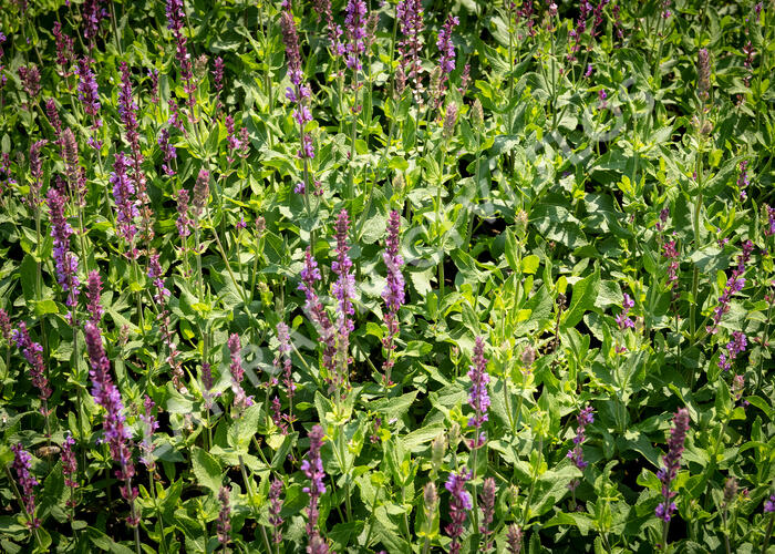 Šalvěj hajní 'Amethyst' - Salvia nemorosa 'Amethyst'