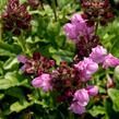 Černohlávek 'Summer Daze' - Prunella hybridum 'Summer Daze'