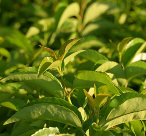 Bobkovišeň portugalská 'Tico' - Prunus lusitanica azorica 'Tico'