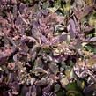 Rozchodník SunSparkler® 'Plum Dazzled' - Sedum hybridum SunSparkler® 'Plum Dazzled'