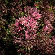 Rozchodník SunSparkler® 'Jade Tuffet' - Sedum hybridum SunSparkler® 'Jade Tuffet'