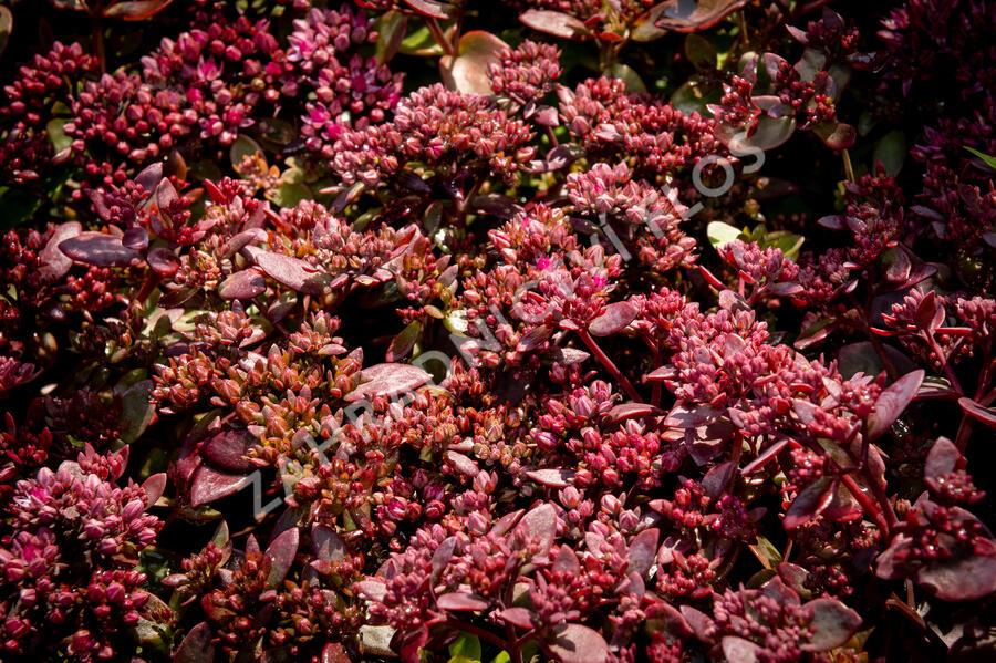 Rozchodník SunSparkler® 'Cherry Tart' - Sedum hybridum SunSparkler® 'Cherry Tart'