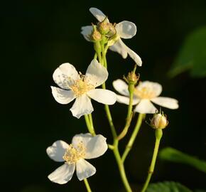 Růže plazivá - Rosa arvensis