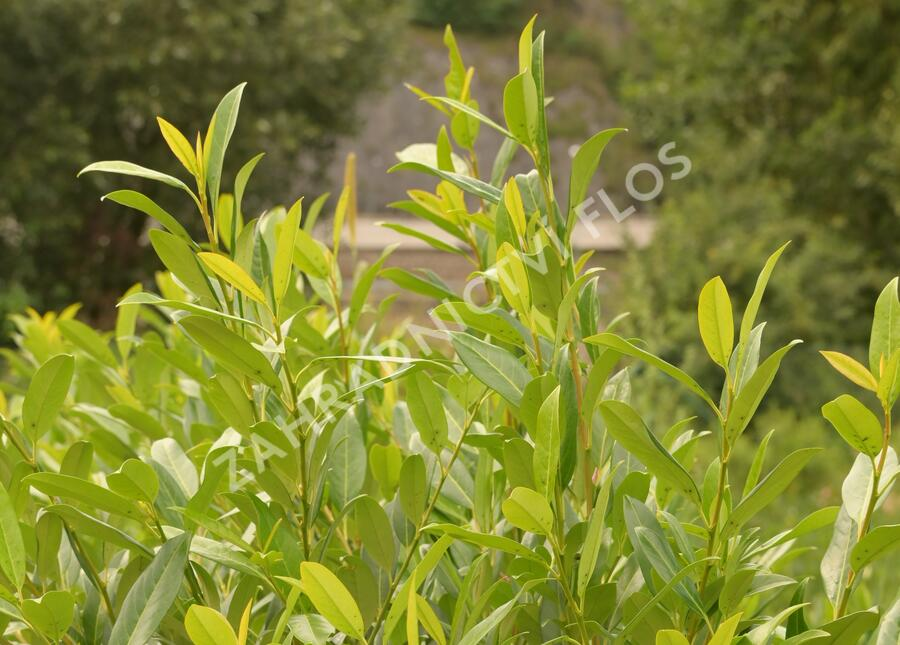 Bobkovišeň lékařská 'Herbergii' - Prunus laurocerasus 'Herbergii'