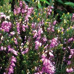 Vřesovec darlejský 'Spring Surprise' - Erica darleyensis 'Spring Surprise'