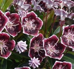 Mamota širokolistá 'Mitternacht' - Kalmia latifolia 'Mitternacht'