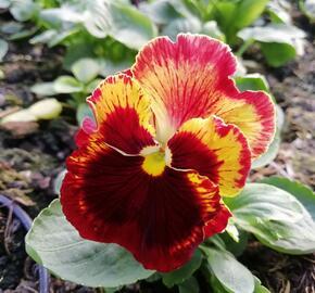 Violka, maceška zahradní 'Carneval® F1 Fire' - Viola wittrockiana 'Carneval® F1 Fire'