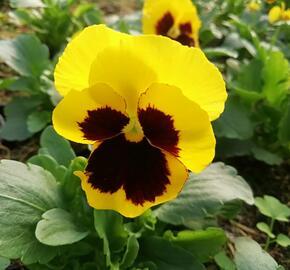Violka zahradní, maceška 'Carneval Yellow with Blotch' - Viola wittrockiana 'Carneval Yellow with Blotch'
