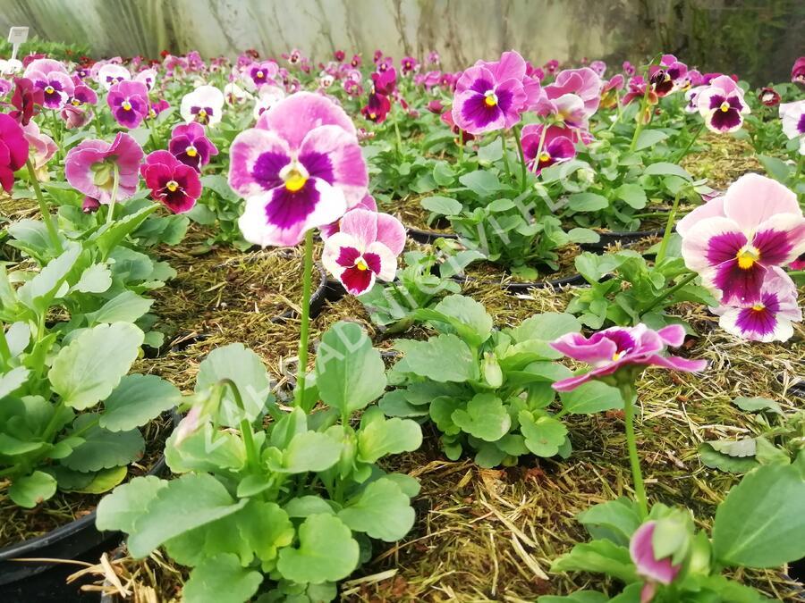 Violka, maceška zahradní 'Carneval® F1 Pink Shades Blotch' - Viola wittrockiana 'Carneval® F1 Pink Shades Blotch'