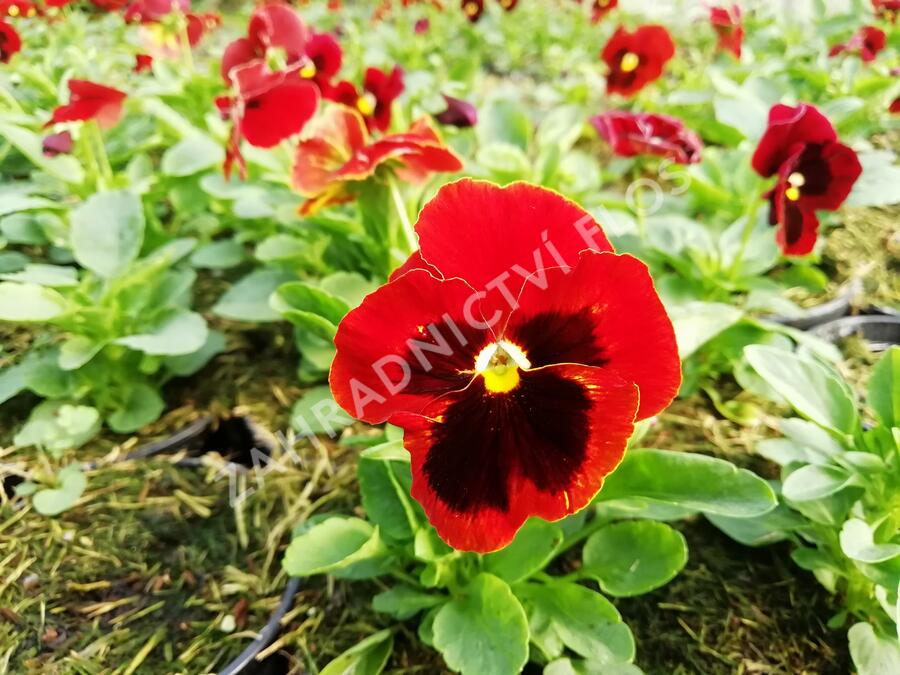 Violka, maceška zahradní 'Carneval® F1 Scarlet with Blotch' - Viola wittrockiana 'Carneval® F1 Scarlet with Blotch'