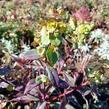 Pryšec mandloňovitý 'Ruby Glow' - Euphorbia amygdaloides 'Ruby Glow'