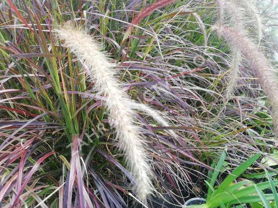 Dochan setý 'Rubrum Fireworks' - Pennisetum setaceum 'Rubrum Fireworks'