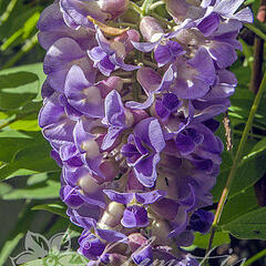 Vistárie americká 'Longwood Purple' - Wisteria frutescens 'Longwood Purple'