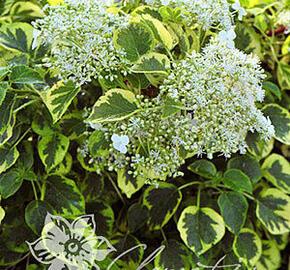 Hortenzie řapíkatá 'Miranda' - Hydrangea anomala subsp. petiolaris 'Miranda'