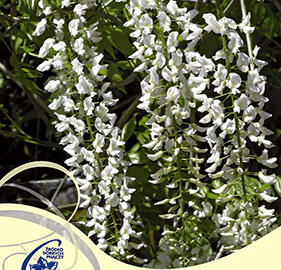 Vistárie květnatá 'Longissima Alba' - Wisteria floribunda 'Longissima Alba'