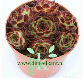 Netřesk 'Guillaumes' - Sempervivum calcareum 'Guillaumes'