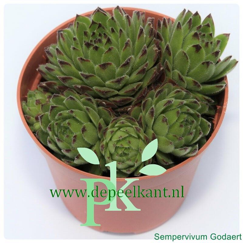 Netřesk 'Godaert' - Sempervivum 'Godaert'