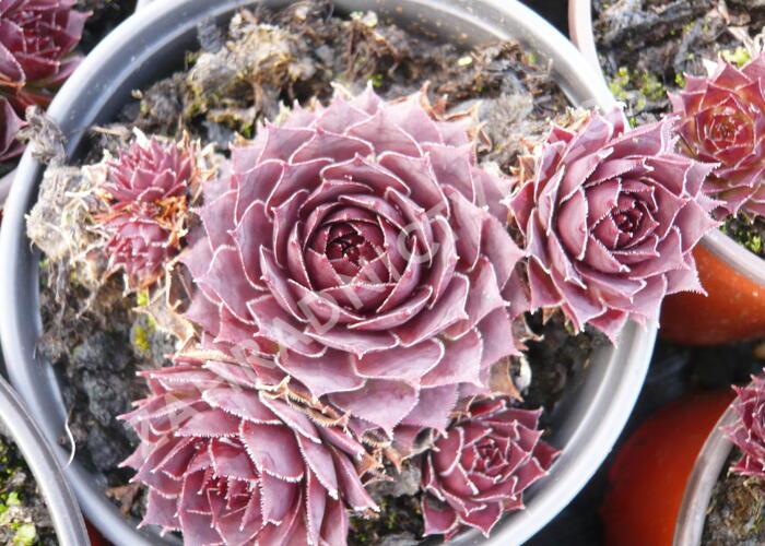 Netřesk 'Granat' - Sempervivum 'Granat'