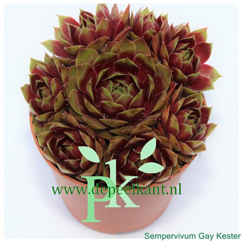 Netřesk 'Gay Kester' - Sempervivum 'Gay Kester'