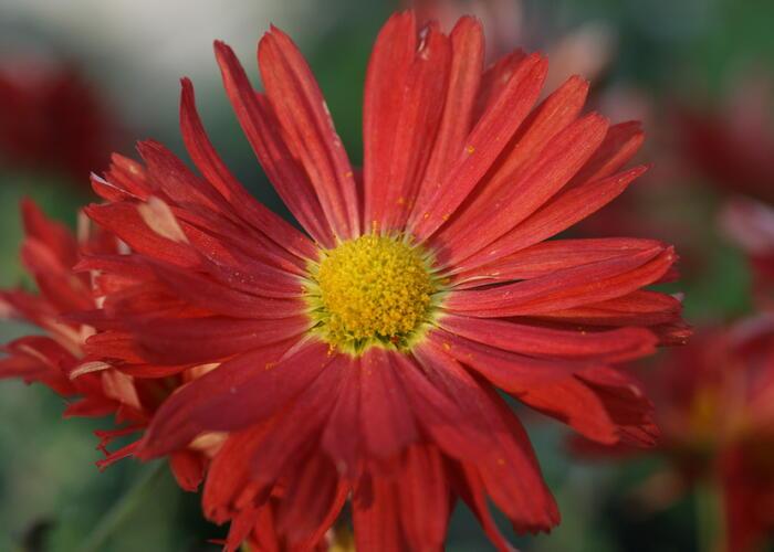Listopadka 'D. of Edinburgh' - Chrysanthemum 'D. of Edinburgh'
