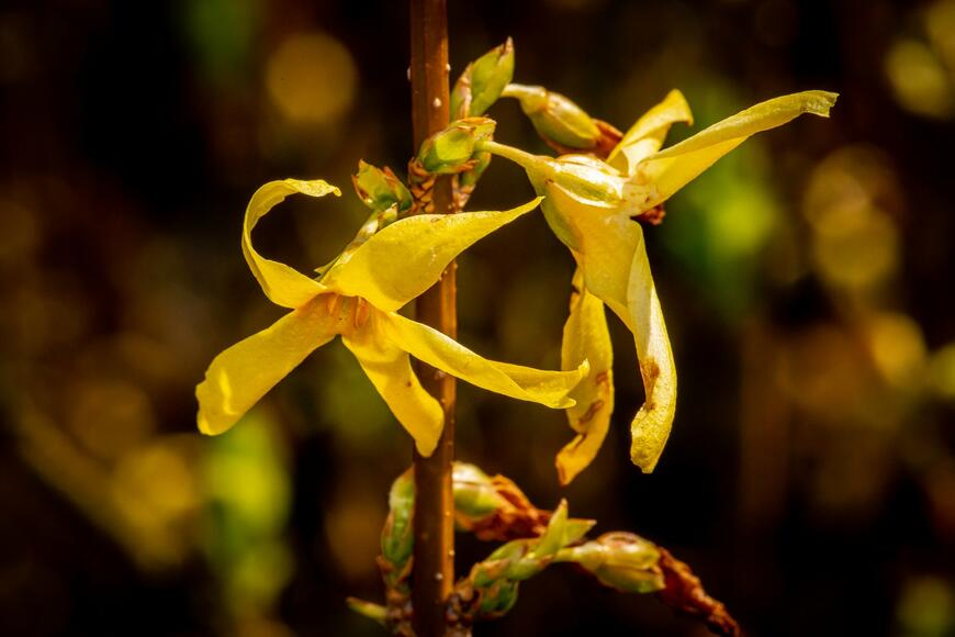 Forsythia intermedia ''Lynwood''_02