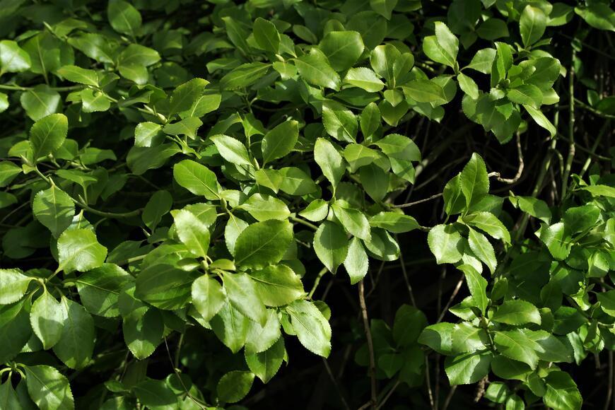 Euonymus fortunei var. radicans (3)