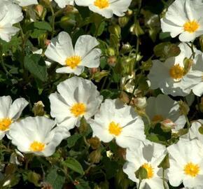 Cist, skalní růže - Cistus corbariensis