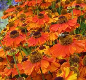 Záplevák podzimní 'Sahin's Early Flowerer' - Helenium autumnale 'Sahin's Early Flowerer'