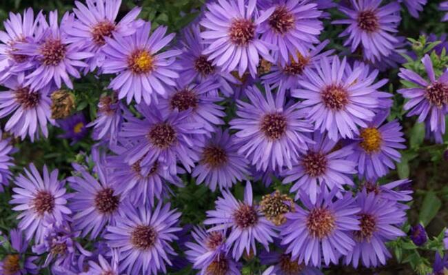 Hvězdnice keříčkovitá 'Wood's Purple' - Aster dumosus 'Wood's Purple'