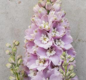 Ostrožka 'Cherry Blossom' - Delphinium Magic Fountain 'Cherry Blossom'