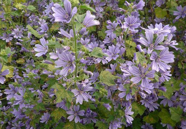 Sléz lesní 'Primley Blue' - Malva sylvestris 'Primley Blue'
